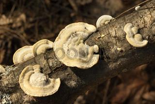 Pilze auf dem Baum.