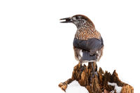 Spotted nutcracker sitting on top of stump isolated on white background