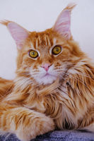 Maine Coon resting on a wall shelf
