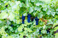 Pinot Noir Grapes in Yarra Valley Australia