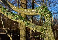 Efeu rankt an Baumstamm empor, Hedera helix, Ivy trailing on a tree trunk