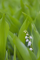 Lily of the Valley is a highly poisonous woodland flowering plant
