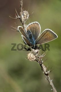 Rotklee-Bläuling (Polyommatus semiargus)
