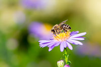 Bee Collecting Nectar on a Aster Flower