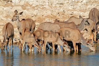 Kudu antelopes drinking