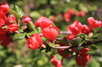 Red flowers of the quince