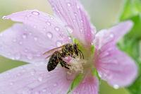 Bee on a pink wet malva flower blossom
