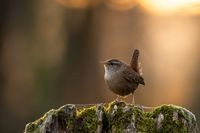 Little eurasian wren sitting on tree stump in spring sunset