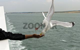 Silbermöwe schnappt im Flug Futter von einer Hand