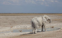 Elefant am Wasserloch, Etosha-Nationalpark