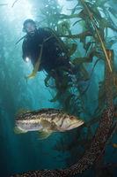 Taucher und Kelp Bass Saegebarsch, San Benito Island