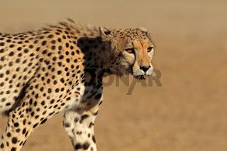 Stalking Cheetah