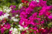 Bougainvillea flowers blooming in the garden