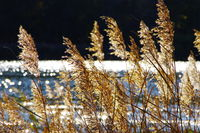 Reed grass in autumn with blurred lake and glittering dots in the background
