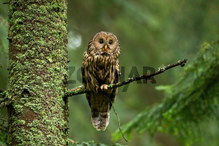 Attentive tawny owl looking to camera in forest on green background