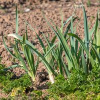 Leeks and parsley grow in a fresh garden bed against a brown background