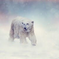 Large Polar bear walking on snow