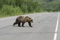 Hungry Kamchatka brown bear walks along an asphalt road