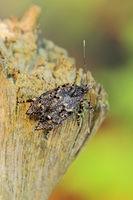 March dagger moth