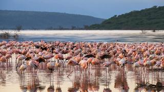 early morning flamingo reflections in lake bogoria, kenya