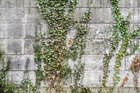 Ivy climbs over the gray stone wall