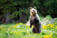 Surprised brown bear standing on rear leg in vertical position in springtime