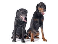 labrador retriever and dobermann