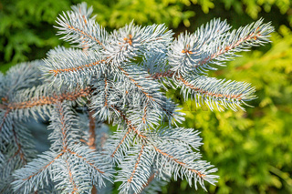 Texture of green needle conifer tree