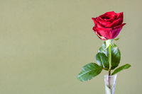 fresh red rose flower on olive color background