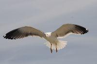 flying lesser black-backed gull