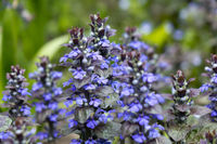 Ajuga reptans is commonly known as bugle, blue bugle, bugleherb, bugleweed
