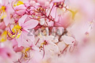 Blossoming cassia