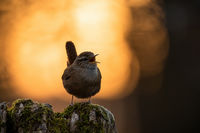 Eurasian wren sitting on a tree trunk and singing in springtime