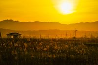 Japanese pampas grass fields and the sun and the house
