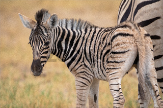 Zebra at Etosha National Park, Namibia