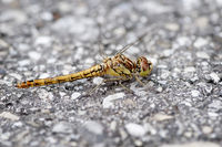 Side view of Sympetrum flaveolum Heidelibelle