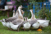A group of domestic geese is drinking water in the yard. Country bird.