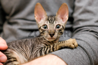 The kitten is afraid in the arms of a man. The pet is looking into the frame. Cornish Rex, Tabby