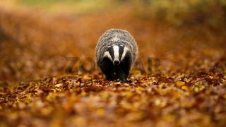 European badger walking on orange foliage in autumn nature.