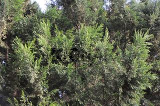 Juniperus virginiana, Virginia-Wacholder, Eastern Red Cedar
