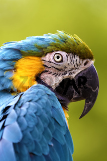 A Captive Blue and Yellow Macaw (Ara ararauna)