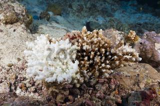Korallenbleiche, Malediven