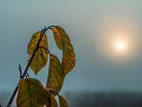 sunrise in an autumn foggy field and an ash branch