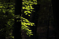 Morning sun illuminates beech leaves