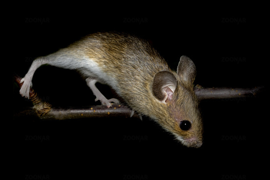 European wood mouse    Apodemus sylvaticus