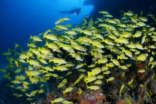 Lutjanus kasmira, Blaustreifen Schnapper und Taucher, Common Bluestripe snapper and scuba diver, Malediven, Maldives