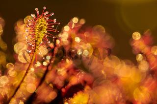 Sonnentau im Hochmoor