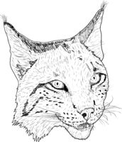 Sketch silhouette sketch lynx face on white background illustration