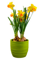 Isolated yellow daffodil flowers in a green flower pot