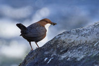 White-throated dipper